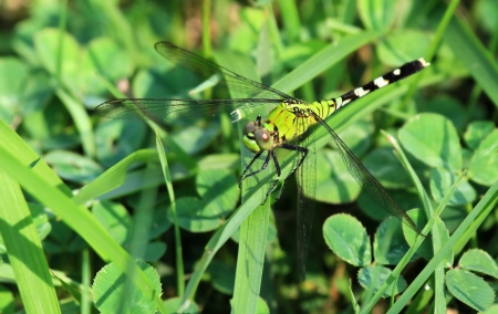 translucense: Female Eastern Pondhawk dragonfly resting on a grass stem in Maryland during the summer