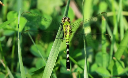 erythemis: Female Eastern Pondhawk dragonfly resting on a grass stem in Maryland during the summer
