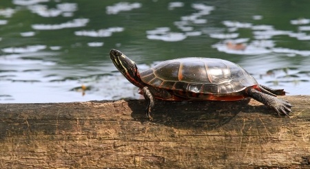 basking: Adult Eastern Painted Turtle basking on a log in Maryland during the Summer
