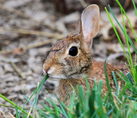 lagomorpha: Eastern Cottontail rabbit sitting in vegetation in Maryland during the Summer