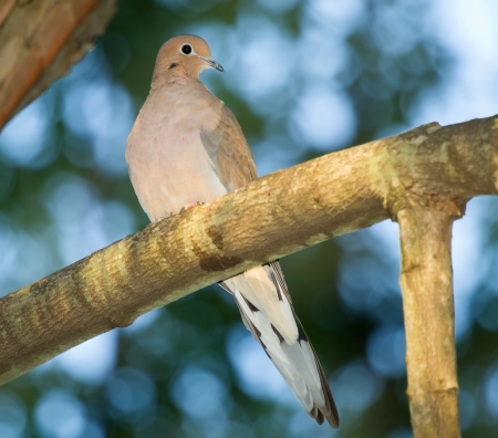 turtle dove: Mourning Dove perching in a tree in Maryland during the Autumn