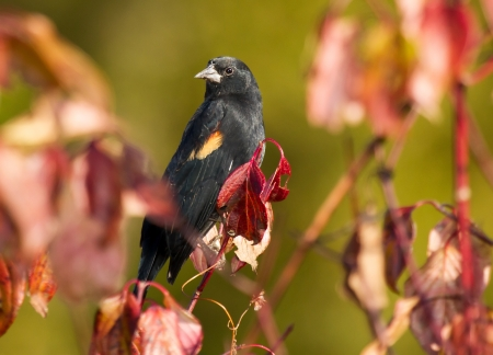 red winged: Red-Winged Blackbird perching in a shrub in wetlands in Maryland during the Autumn Stock Photo