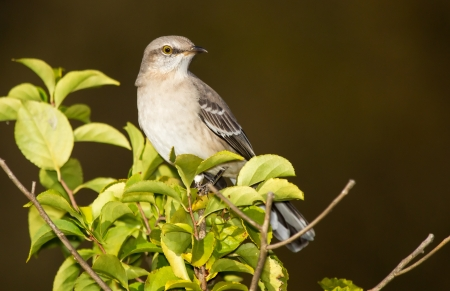 Northern Mockingbird perching in a tree in Maryland during the Autumn