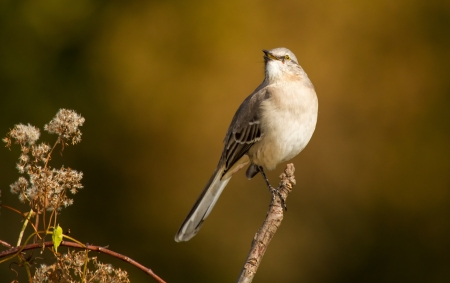 mockingbird: Northern Mockingbird singing while perching in a tree in Maryland during the Autumn