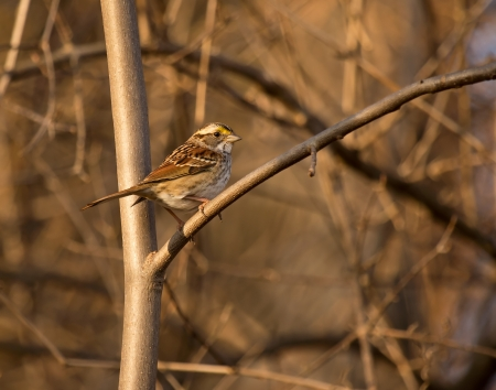White-throated Sparrow perching in a tree in Maryland during the Winter photo