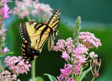 Eastern Tiger Swallowtail butterfly nectaring on meadow wildflowers in Maryland during the Summer Stock Photo