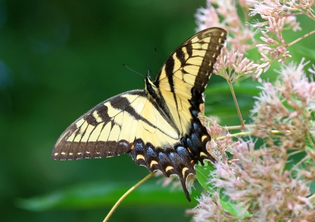 nectaring: Eastern Tiger Swallowtail butterfly nectaring on meadow wildflowers in Maryland during the Summer Stock Photo
