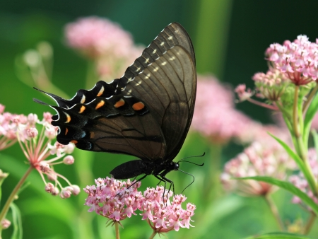 nectaring: Dark form of the Eastern Tiger Swallowtail butterfly nectaring on meadow wildflowers in Maryland during the Summer