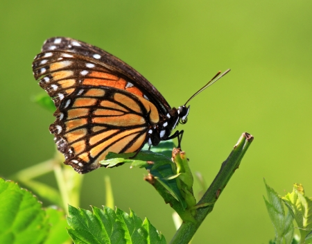 viceroy: Viceroy butterfly resting on meadow vegetation in Maryland during the Summer Stock Photo