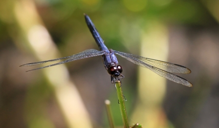 pruinescence: Slaty Skimmer dragonfly sitting on a grass stem in Maryland during the Summer