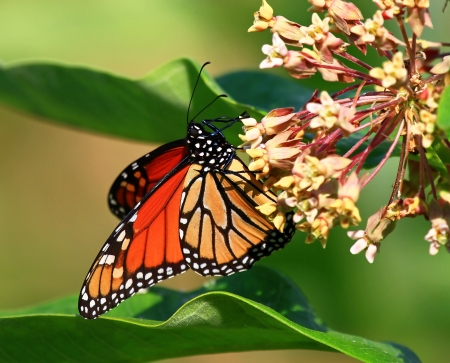 Monarch butterfly feeding on milkweed in Maryland during the Summer