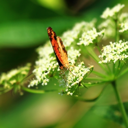 Pearl Crescent butterfly feeding on Cow Parsley wildflowers in Maryland during the Summer Stock Photo - 17171615