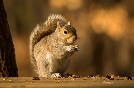 Eastern Gray Squirrel eating a nut in Maryland during the Winter photo