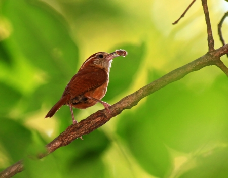 Carolina Wren holding a bug while perching on a branch in Maryland during the Summer photo