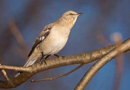 ruiseñor: Northern Mockingbird posado en un ?ol en Maryland durante el invierno Foto de archivo