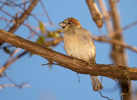 Young male House Sparrow perching on a tree branch in Maryland during the Winter photo