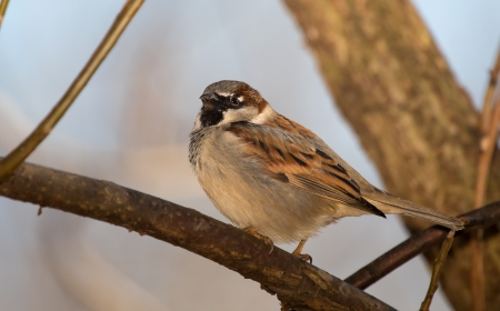 Male House Sparrow perching on a tree branch in Maryland during the Winter photo
