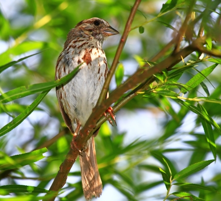 Canción Sparrow posado en un árbol en Maryland durante el verano Foto de archivo - 17286812