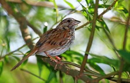 Canción Sparrow posado en un árbol en Maryland durante el verano Foto de archivo - 17286819