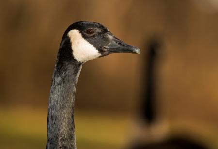 canada goose logo rechts