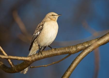 ruiseñor: Northern Mockingbird posado en un árbol en Maryland durante el invierno