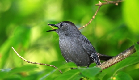 gray catbird: Gray Catbird singing while perching in a tree in woodland in Maryland during the Summer Stock Photo