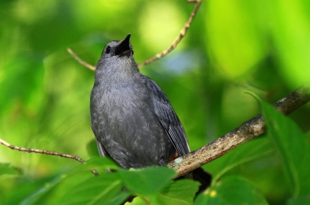 catbird: Gray Catbird singing while perching in a tree in woodland in Maryland during the Summer Stock Photo