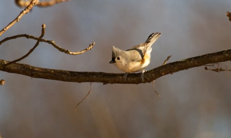 Tufted Titmouse songbird perching in a tree in woodland in Maryland during the Autumn 免版税图像