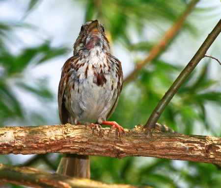 Song Sparrow with raised head while singing in a tree in Maryland during the Summer