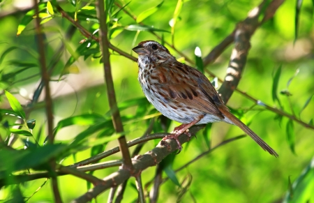 Song Sparrow perching in a tree in Maryland during the Summer