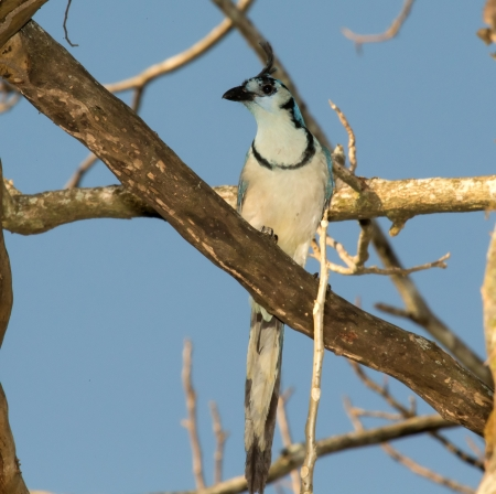 White-throated Magpie-Jay perching on a branch in a tree in Guatemala photo