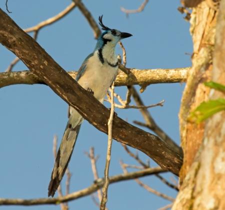 green jay: Blanco-throated Magpie-Jay posado en una rama en un árbol en Guatemala Foto de archivo