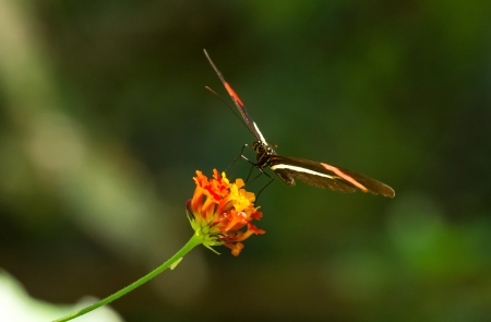 Erato Heliconian butterfly feeding on a wildflower in woodland in Guatemala