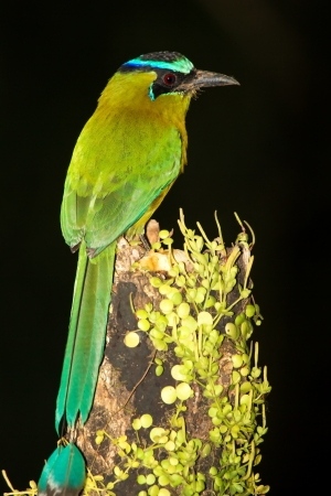 Blue-crowned Motmot perching on a tree stump in a forest in Guatemala