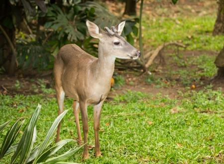 Young male Chiapas white-tailed deer standing in woodland in Guatemala photo