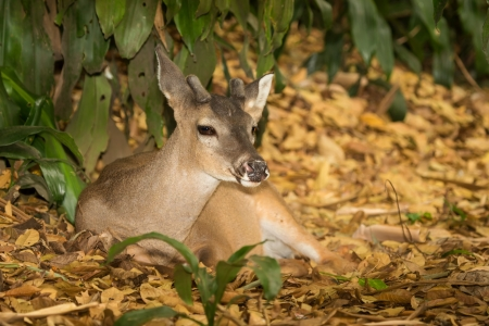 Young male Chiapas white-tailed deer resting in woodland in Guatemala photo