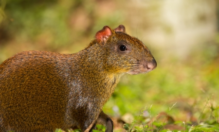Profile of a Central American agouti in woodland in Guatemala