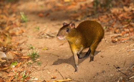 agouti: Central American agouti on a mountain trail in woodland in Guatemala Stock Photo