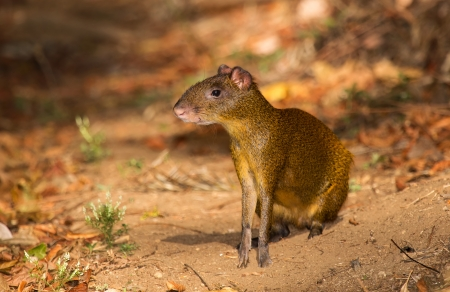 agouti: Central American agouti sitting on a mountain trail in woodland in Guatemala