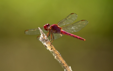 Roseate Skimmer dragonfly perching on a twig by a lake in Guatemala Stock Photo