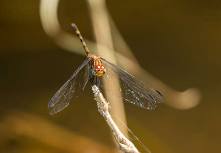 Brown Setwing dragonfly perching on a twig by a lake in Guatemala