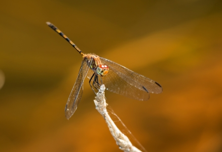 odonatology: Brown Setwing dragonfly perching on a twig by a lake in Guatemala