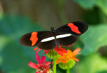 patched up: Erato Heliconian butterfly feeding on a wildflower in woodland in Guatemala