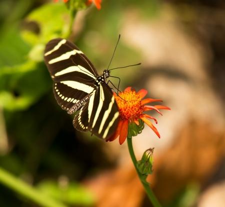 Zebra Heliconian butterfly feeding on a wildflower in woodland in Guatemala