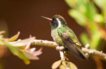 White-eared Hummingbird perching on a branch in a tree in Guatemala photo