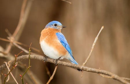 Eastern Bluebird perching on a branch in a tree in Maryland during the Winter photo