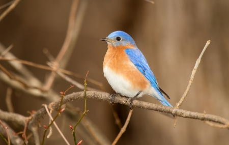 Eastern Bluebird perching on a branch in a tree in Maryland during the Winter