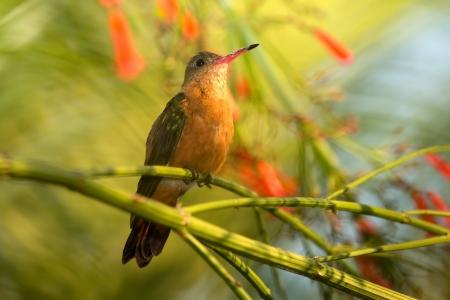 perching: Cinnamon Hummingbird perching on a branch in a tree in Guatemala Stock Photo