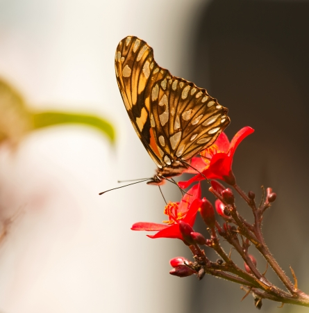 dione: Juno Heliconian butterfly feeding on a wildflower in woodland in Guatemala Stock Photo