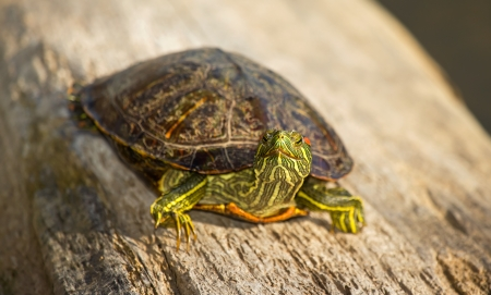 Adult Red-eared Slider pond turtle basking on a log in Maryland during the Winter photo